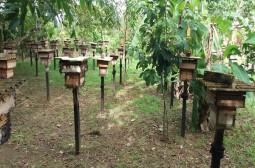 Ipaam autoriza manejo e produção de mel de abelha-sem-ferrão para escala comercial em Itapiranga