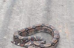 Jiboia é a cobra mais resgatada na área urbana de Manaus