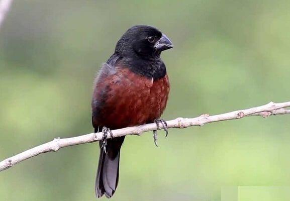 Criadores de pássaros silvestres têm até esta sexta-feira para renovar a licença